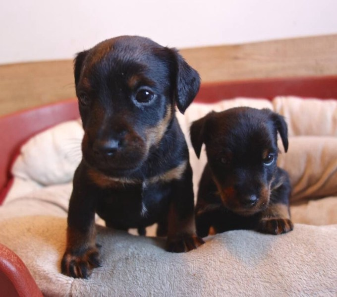 Hunt Terrier Puppies For Sale