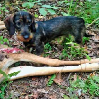 Hunting Wirehaired Dachshund For Sale