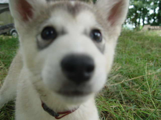 Husky Wolf Dogs For Sale