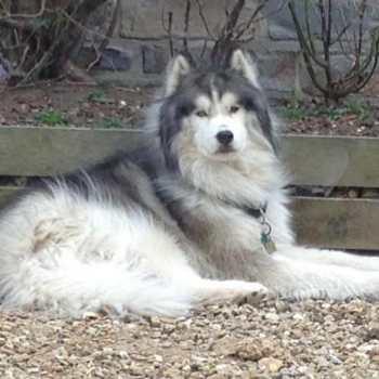Husky Wolf For Sale