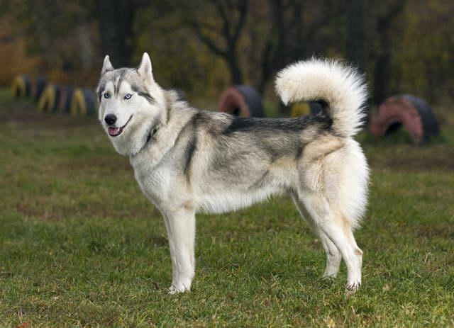 Husky Wolf Hybrids