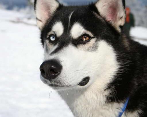 Husky Wolf Mix Price