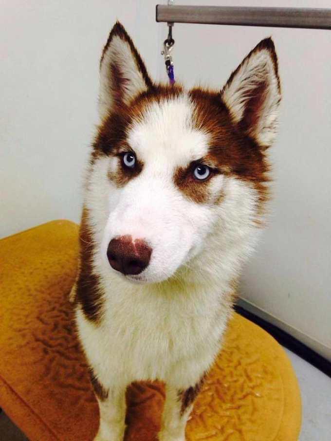 Illinois Husky Rescue