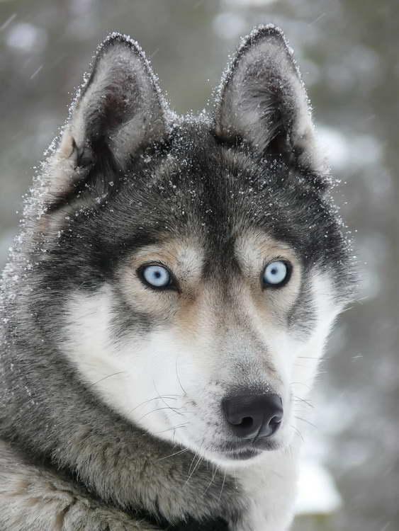 Information On Husky