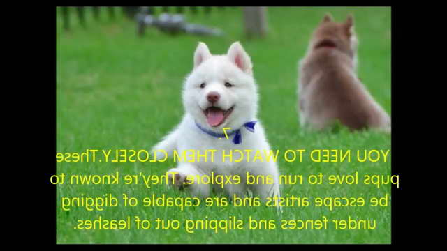 Interesting Facts About Husky