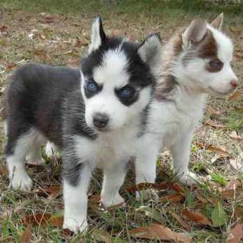 Little Husky Dog