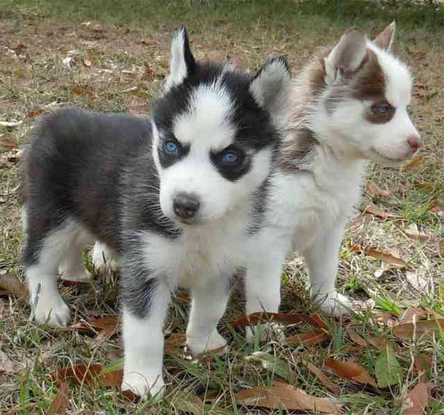 Little Husky Dog