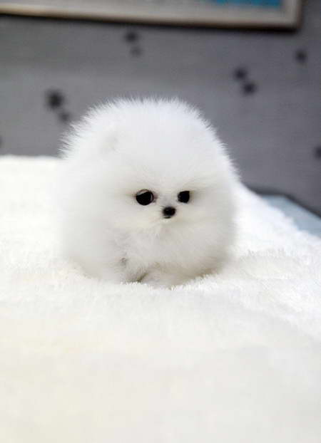 How Much Are Pomeranian Puppies