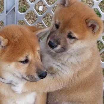 How Much Are Shiba Inu Puppies Usa