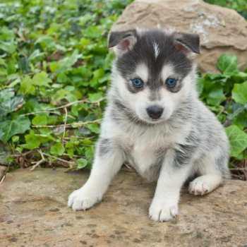 How Much Do Pomeranian Huskies Cost