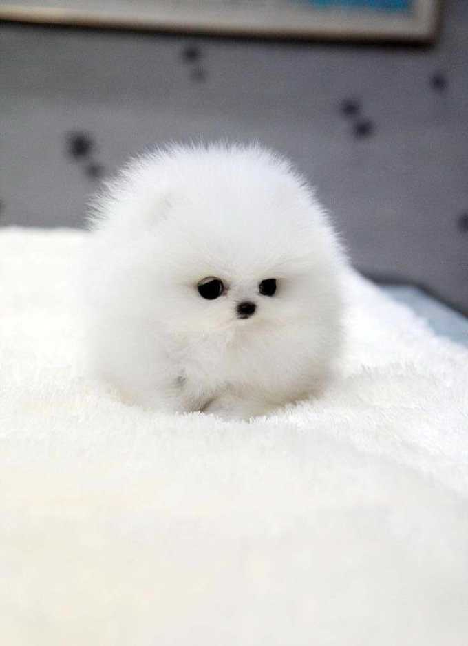 How Much Do Teacup Pomeranian Puppies Cost