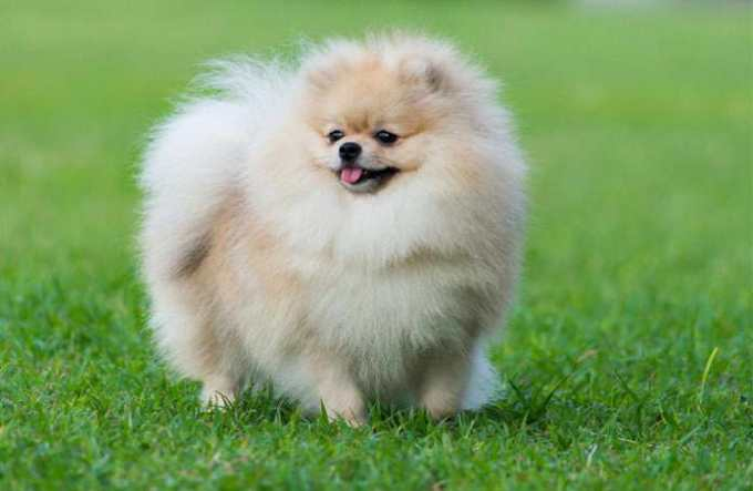 How Much Does A Pomeranian Dog Cost