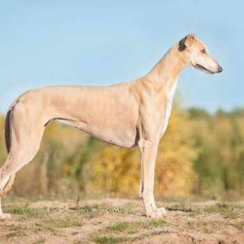 How Much Is A Greyhound Dog Resize