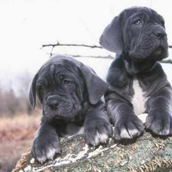 How Much Is A Neapolitan Mastiff Puppy