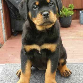How Much Is A Purebred Rottweiler