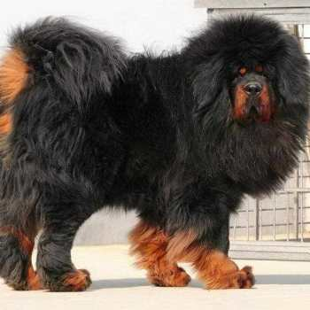 How Much Is A Tibetan Mastiff Dog