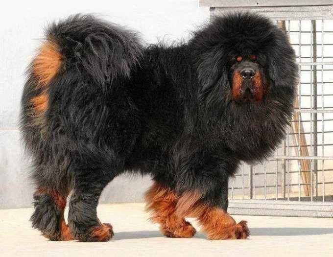 How Much Is A Tibetan Mastiff