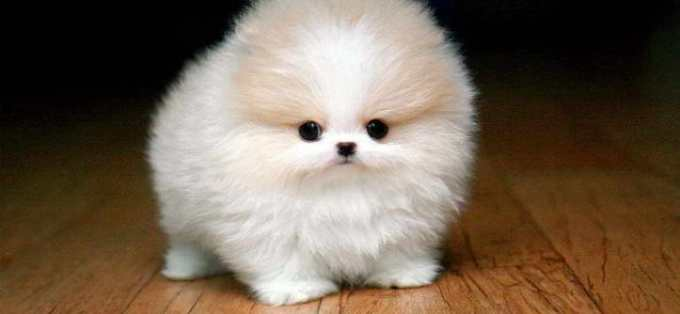 How Much Is A Toy Pomeranian
