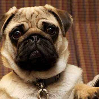 How Much Money Does A Pug Cost