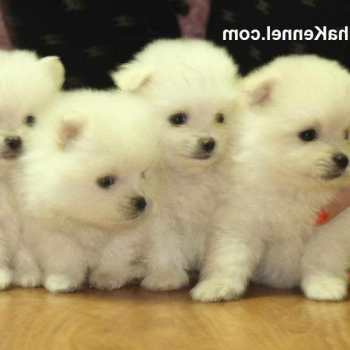 How Much Pomeranian Puppies Cost
