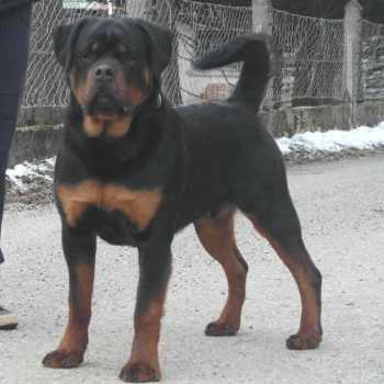 How Much Should A Rottweiler Eat