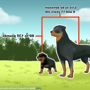 How To Care For A Rottweiler