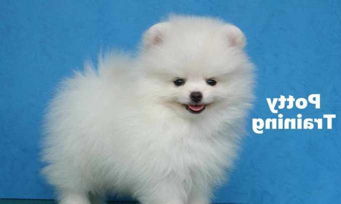 How To Potty Train A Pomeranian Puppy