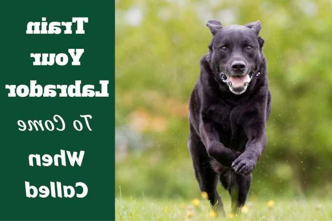 How To Train Labrador