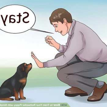 How To Train Rottweiler Puppies