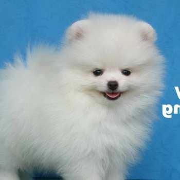 How To Train Your Pomeranian