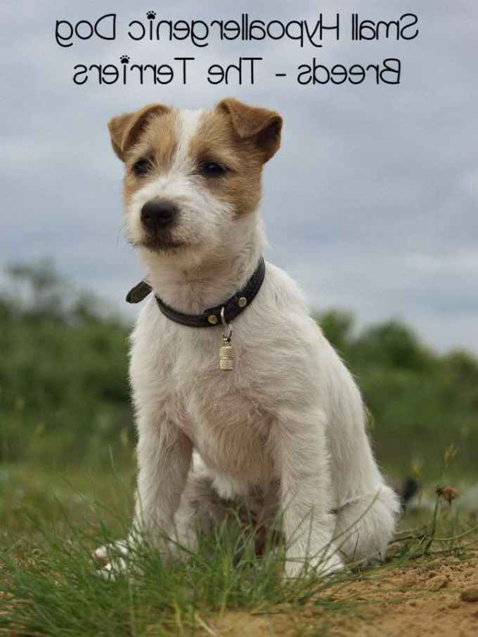 Hypoallergenic Terrier Dog Breeds