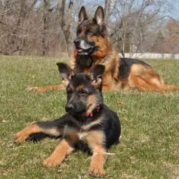 Illinois German Shepherd Rescue