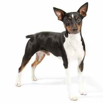 Images Of Rat Terrier