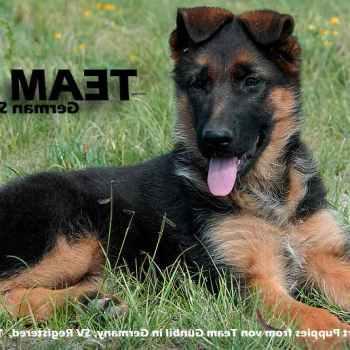 Import German Shepherd From Germany