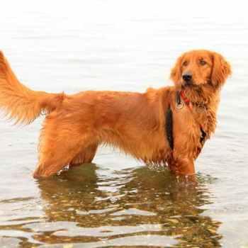 Irish Setter Golden Retriever Puppies For Sale
