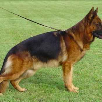 Iso German Shepherd