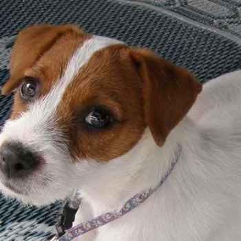 Jack Russel Terrier Behavior