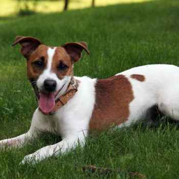 Jack Russel Terrier Pups For Sale