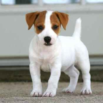 Jack Russell Adoption Florida