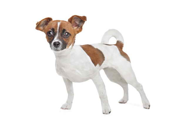 Jack Russell And Chihuahua Mix