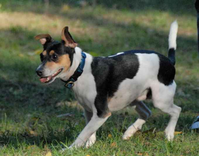 Jack Russell And Rat Terrier Mix