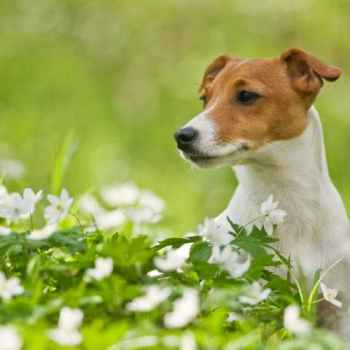 Jack Russell Behaviors