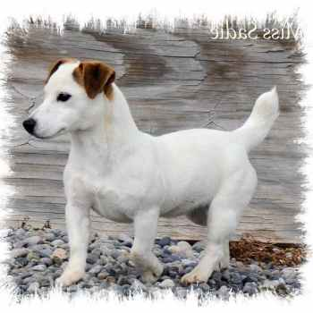 Jack Russell Breeders Colorado