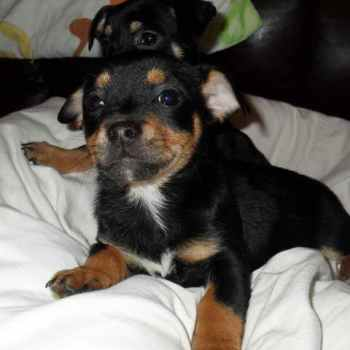 Jack Russell Dachshund Mix For Sale