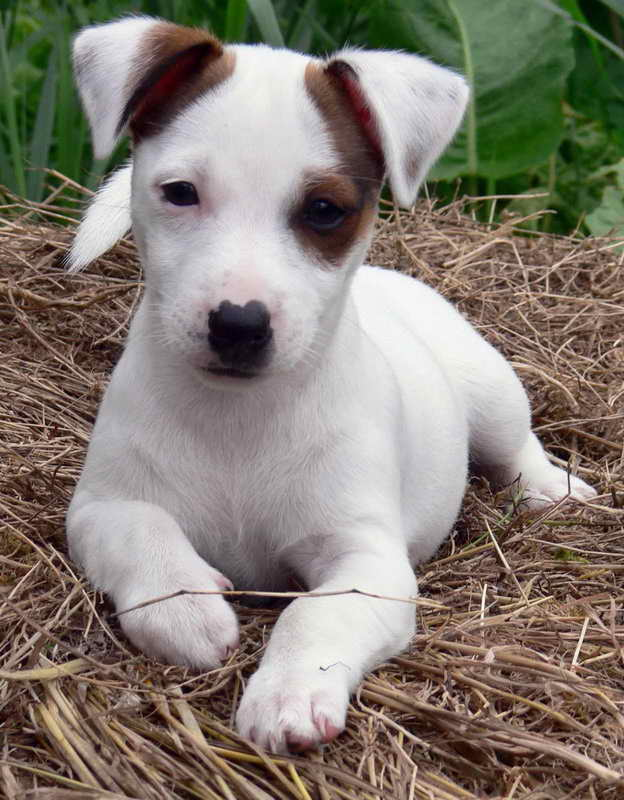 Jack Russell Dogs For Adoption