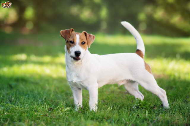 Jack Russell Facts