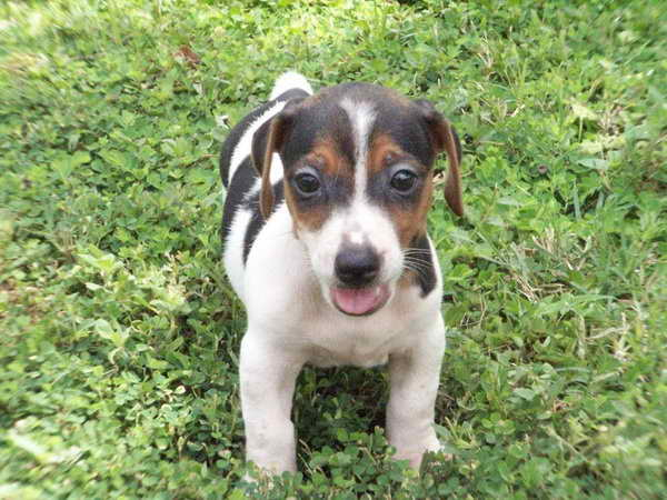 Jack Russell For Sale In Ga
