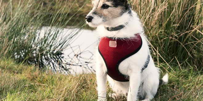 Jack Russell Harness