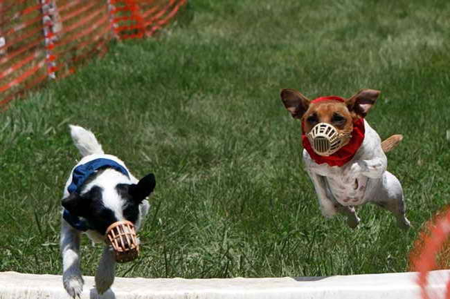 Jack Russell Muzzle
