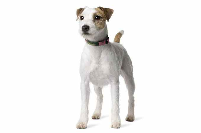 Jack Russell Parson Terrier